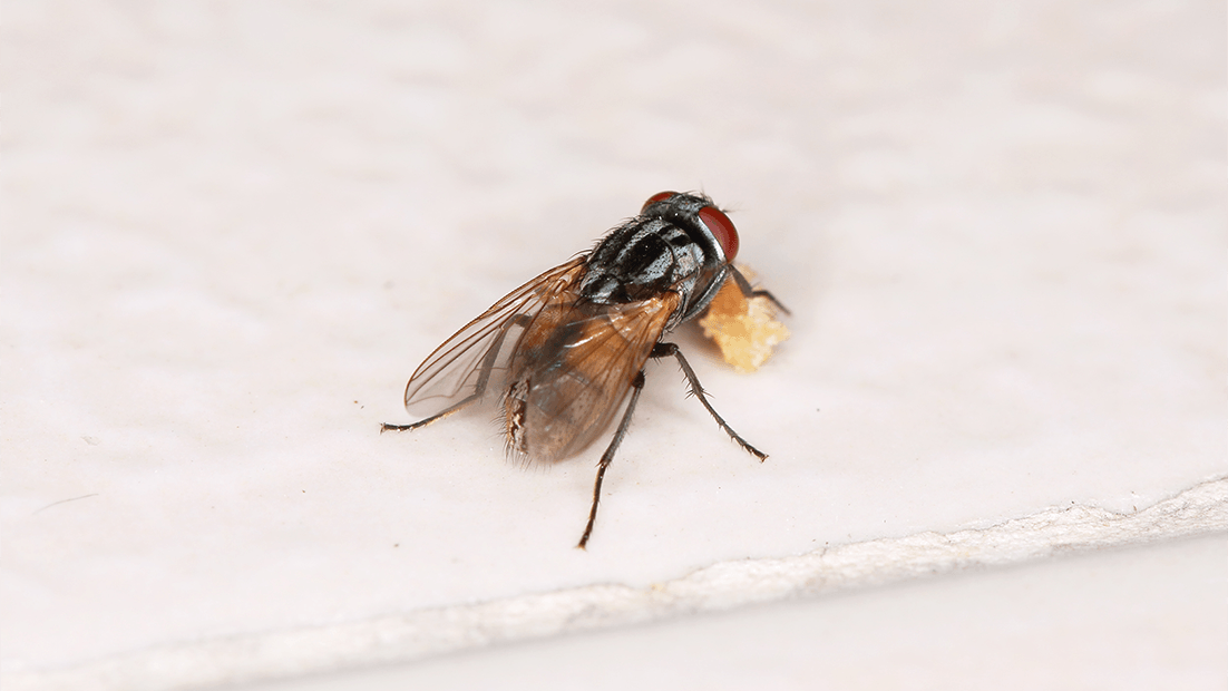 Flies in Hawaii. More to the Buzz