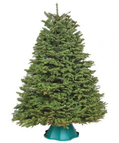 5 ft. to 6 ft. Fresh-Cut Sheared Noble Fir Live Christmas Tree