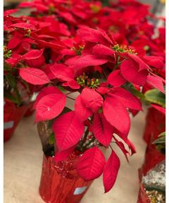 6 in. Live Christmas Poinsettia Plant
